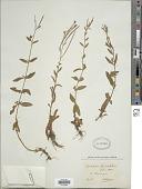 view Epilobium lanceolatum Sebast. & Mauri digital asset number 1