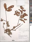view Uvariastrum hexaloboides (R.E. Fr.) R.E. Fr. digital asset number 1