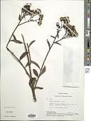 view Dendrophorbium usgorense (Cuatrec.) C. Jeffrey digital asset number 1