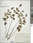 view Salvia rubiginosa Benth. digital asset number 1
