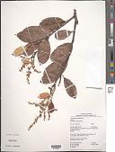 view Licania densiflora Kleinh. digital asset number 1