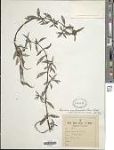 view Borreria scabiosoides Cham. & Schltdl. digital asset number 1