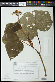 view Begonia admirabilis Brade digital asset number 1
