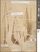 view Poa fendleriana subsp. longiligula (Scribn. & T.A. Williams) Soreng digital asset number 1