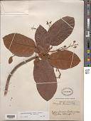 view Sterculia pruriens (Aubl.) K. Schum. var. pruriens digital asset number 1