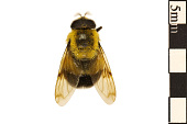view Bumblebee Hoverfly digital asset number 1
