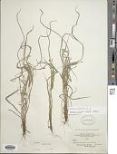 view Cyperus simplex Kunth digital asset number 1