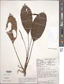 view Anthurium lanjouwii A.M.E. Jonker & Jonker digital asset number 1