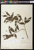 view Solanum campaniforme Roem. & Schult. digital asset number 1