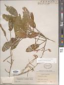 view Potamogeton illinoensis Morong digital asset number 1