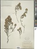 view Teucrium montanum L. digital asset number 1