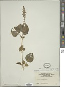 view Plectranthus scutellarioides (L.) R. Br. digital asset number 1