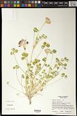 view Trifolium fucatum Lindl. digital asset number 1