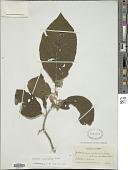 view Solanum ovalifolium Dunal digital asset number 1