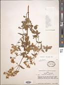 view Calceolaria bicrenata Ruiz & Pav. digital asset number 1