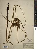 view Cyperus flavicomus Michx. digital asset number 1