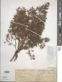 view Bocconia arborea S. Watson digital asset number 1