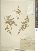 view Cymopterus montanus Torr. & A. Gray digital asset number 1