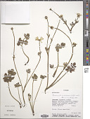 view Ranunculus praemorsus Kunth ex DC. digital asset number 1