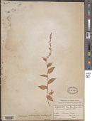 view Callisia monandra (Sw.) Schult. & Schult. f. digital asset number 1