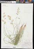 view Eragrostis secundiflora subsp. oxylepis (Torr.) S.D. Koch digital asset number 1