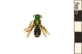 view Metallic Green Bee digital asset number 1