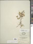 view Oxalis corniculata var. villosa (M. Bieb.) Hohen. digital asset number 1