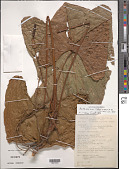 view Anthurium rubrinervium (Link) G. Don digital asset number 1