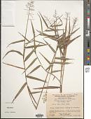 view Isachne ligulata Swallen digital asset number 1
