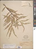 view Mollinedia stenophylla Perkins digital asset number 1