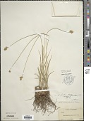 view Carex pachystachya Cham. ex Steud. digital asset number 1