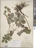 view Thalictrum coriaceum (Britton) Small digital asset number 1