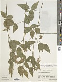 view Orbexilum melanocarpum (Benth. ex Hemsl.) Rydb. digital asset number 1