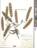 view Senegalia hayesii (Benth.) Britton & Rose digital asset number 1