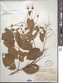 view Gouania polygama (Jacq.) Urb. digital asset number 1