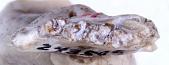 view Prosciurus relictus (Cope) digital asset number 1