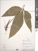view Anthurium trisectum Sodiro digital asset number 1