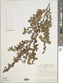 view Cytisus scoparius (L.) Link digital asset number 1