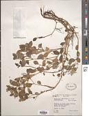view Peperomia ponapensis C. DC. var. ponapensis digital asset number 1