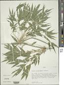 view Chusquea simpliciflora Munro digital asset number 1