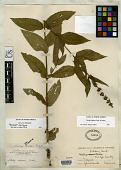 view Stachys latidens Small in Britton digital asset number 1