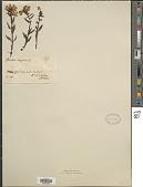 view Pedicularis lapponica L. digital asset number 1