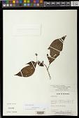 view Besleria latiflora digital asset number 1