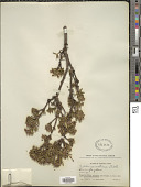 view Daphne aurantiaca Diels digital asset number 1