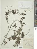 view Salvia coccinea Etlinger digital asset number 1