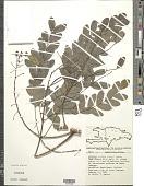 view Albizia procera (Roxb.) Benth. digital asset number 1