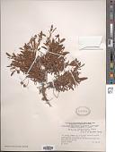 view Dryas integrifolia Vahl digital asset number 1
