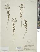 view Trichostema dichotomum L. digital asset number 1