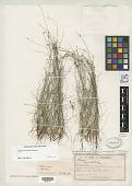 view Scirpus inundatus var. gracillimus Cheeseman digital asset number 1