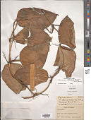 view Philodendron fragrantissimum (G. Don) Kunth digital asset number 1